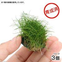 育成済 ヘアーグラスショートボール(無農薬)(3個)