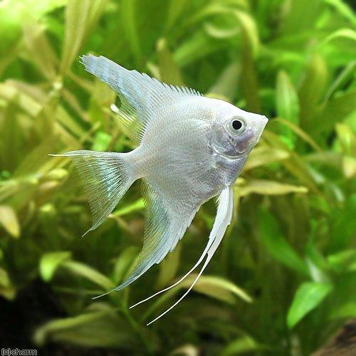 (熱帯魚)プラチナホワイト・エンゼルフィッシュ(ヨーロッパブリード)(3匹) 北海道・九州航空便要保温
