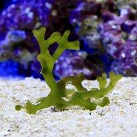 海藻 サキブトミル Sサイズ 岩なし(1個)