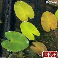 水辺植物 河骨 サイコクヒメコウホネ(1ポット) 浮葉植物