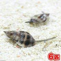 貝 リュウキュウムシロガイ 底砂とその他の掃除(6匹)