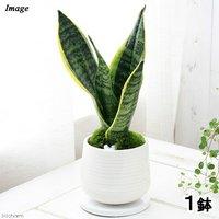 サンスベリア 陶器鉢植え もえS WH(1鉢) 受け皿付き 北海道冬季発送不可