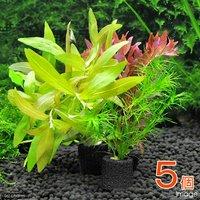 マルチリングブラック(黒) おまかせ水草1種(水中葉)(無農薬)(5個)
