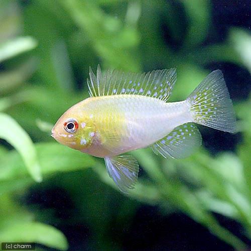 (熱帯魚)ゴールデンオランダ・ラミレジィ(国産ブリード)(1匹) 北海道・九州・沖縄航空便要保温