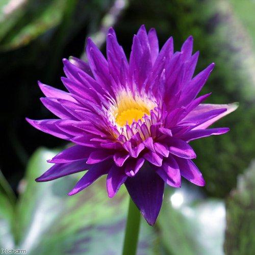 (ビオトープ)睡蓮 熱帯性睡蓮(スイレン)(青紫)プラムクレイジー Plum Crazy (1ポット) 沖縄別途送料(休眠株)