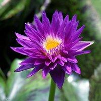 睡蓮 熱帯性睡蓮(スイレン)(青紫)プラムクレイジー Plum Crazy (1ポット)  (休眠株) 北海道冬季発送不可