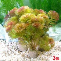 メダカ・金魚藻 ライフマルチ(茶) レッドカボンバ(3個)