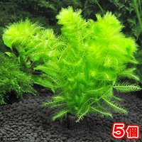 メダカ・金魚藻 マルチリングブラック(黒) ウトリクラリア アウレア(ノタヌキモ)(無農薬)(5個)