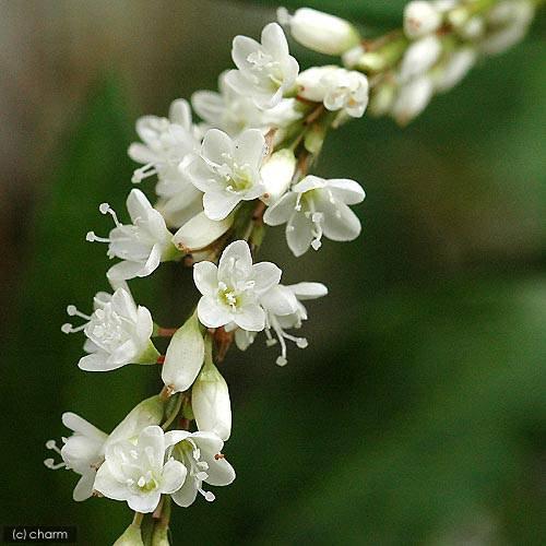 (ビオトープ)水辺植物 シロバナサクラタデ(1ポット分) (休眠株)