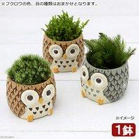 苔盆栽 リトルアニマル フクロウ 色おまかせ(1鉢)