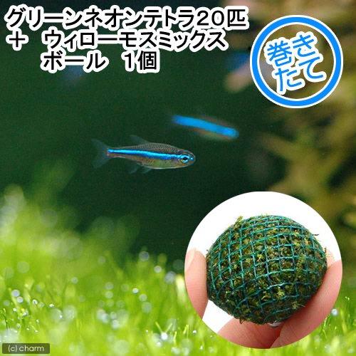 (熱帯魚 水草)グリーンネオンテトラ(20匹) + ウィローモス ミックス ボール 1個 北海道航空便要保温