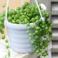 ぶらりサキュレント グリーンネックレス 3号吊り鉢タイプ(1鉢) (説明書付) 北海道冬季発送不可