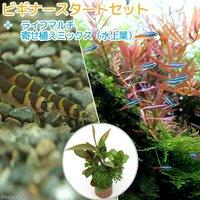 (水草)ビギナースタートセット ネオンテトラ(10匹) +クーリーローチ(3匹)