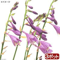 コバギボウシ(小葉擬宝珠) 3号(3ポット) (休眠株)