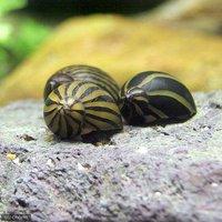 シマカノコ貝(10匹)