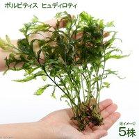 ボルビティス ヒュディロティ(無農薬)(5株)