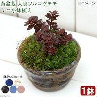 苔盆栽 大実ツルコケモモ ミニ小鉢植え 鉢色おまかせ(1鉢)