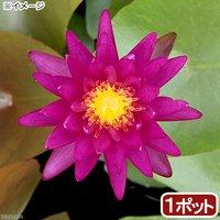 睡蓮 温帯性睡蓮(スイレン)(紫)パープルファンタジー 特許番号#PP26530(1ポット)