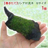 巻きたて リシア付き流木 Sサイズ(約15cm)(無農薬)(1本)