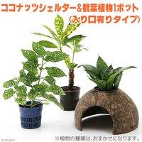 ココナッツシェルター 植物付き 入り口有りタイプ(1セット)  北海道冬季発送不可