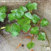 水辺植物 コオニビシ(1株)  浮葉植物