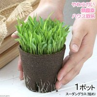 長さで選べる スーダングラス 直径8cmECOポット植え(短め)(無農薬)(1ポット)