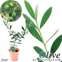 果樹苗 オリーブの木 フライトイオ 3.5号(1鉢) 家庭菜園
