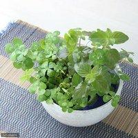 水辺植物 私の小さなアクアリウムシャリッと益子DE幸せムチカ&ウォーターミントセット