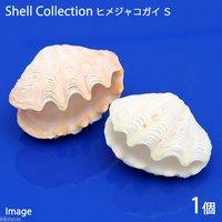 貝殻 シェルコレクション ヒメシャコガイ(かざりシャコガイ) おまかせカラー Sサイズ(1組)(形状お任せ)
