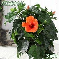 ハイビスカス 品種おまかせ 5号(3鉢)
