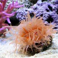 ウチウラタコアシサンゴ ピンク(1個) 海水魚