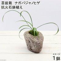 苔盆栽 抗火石鉢植え ナガバジャノヒゲ(1鉢)