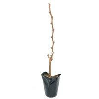 果樹苗 ブドウ ピオーネ 5号(1鉢) 家庭菜園