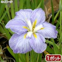 水辺植物 花菖蒲 青根(アオネ)肥後系薄青紫花(1ポット)