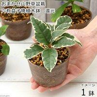 盆栽 おまかせ山野草盆栽 穴有益子焼植木鉢(還元)(1鉢)