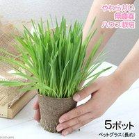 長さで選べる ペットグラス 直径8cmECOポット植え(長め)(無農薬)(5ポット) 猫草
