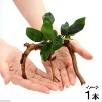 アヌビアスナナ ブランチアーチ流木付(1本)(約15cm~)