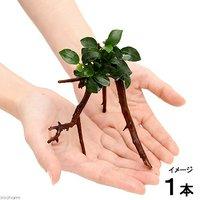 アヌビアス ナナプチ ブランチアーチ流木付(約15cm~)(1本)