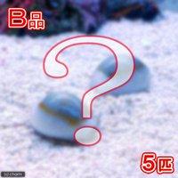 貝 (B品)タカラガイミックス(5匹)