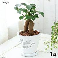 ガジュマル 陶器鉢植え フレグランドラウンドポットXS(1鉢) 受け皿付き