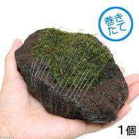 巻きたて ジャイアント南米ウィローモス 富士ノ溶岩石 Mサイズ(約10~12cm)(無農薬)(1個)