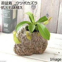苔盆栽 ウツボカズラ 抗火石鉢植え(1鉢)