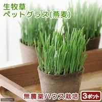 ペットグラス 燕麦 うさぎの草 直径8cmECOポット植え(無農薬)(3ポット) 生牧草 うさぎのおやつ