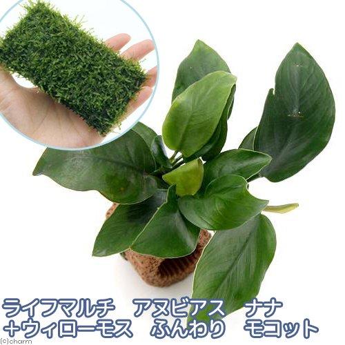 (水草)ライフマルチ(茶) アヌビアスナナ+ウィローモス ふんわり モコット 熱帯魚 北海道航空便要保温