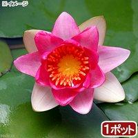 睡蓮 温帯性睡蓮(スイレン)(赤) アトロプルプレア Atropurpurea (1ポット)