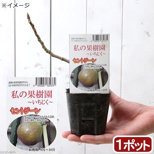 (観葉植物)果樹苗 イチジク セントジーン 実なし 3号(1ポット)  家庭菜園