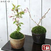 苔盆栽 サクラ(桜)御殿場桜 穴有益子焼植木鉢(還元)(1鉢)