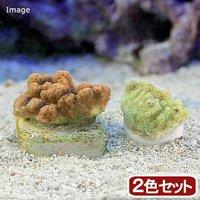 トンガ産 コモンサンゴsp. プラグ付き 2色セット(1セット)