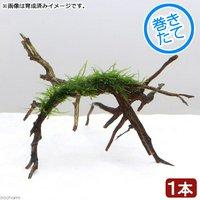 巻きたて ウィローモス ブランチアーチ流木(1本)