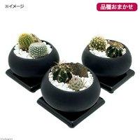 おまかせサボテン2種 陶器鉢植え 空S BK(1鉢) 受け皿付き 北海道冬季発送不可